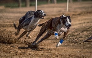 Side bets for greyhound racing.